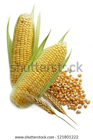 corn and wheat ears with corn grain isolated