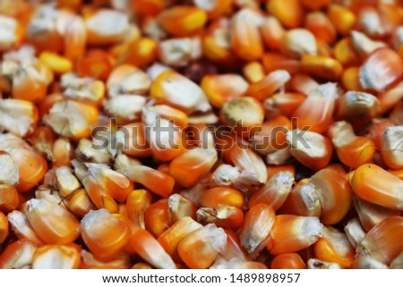 Corn background, Yellow Corn as an abstract background texture