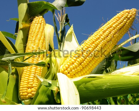Corn close-up
