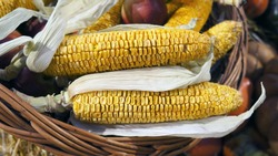Corn cob and apples in wicker basket. Dried corn. Harvest market. Thanksgiving day. Crop.