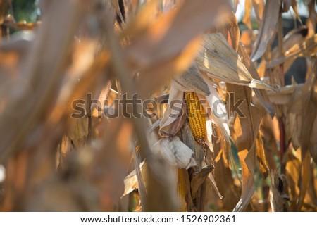 corn cob in corn field #1526902361