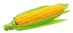 Corn cob with green leaves isolated on white background. Package design element with clipping path
