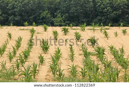 Corn crop in a parched farm field
