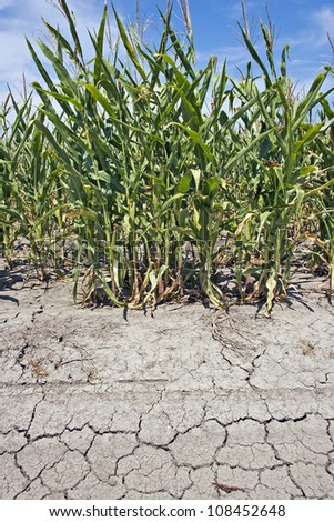 corn crop under drought conditions