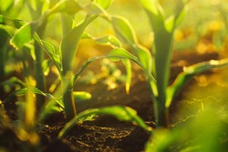 Corn crops growing in field, sunlight flare, selective focus