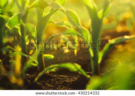 Corn crops growing in field, sunlight flare, selective focus