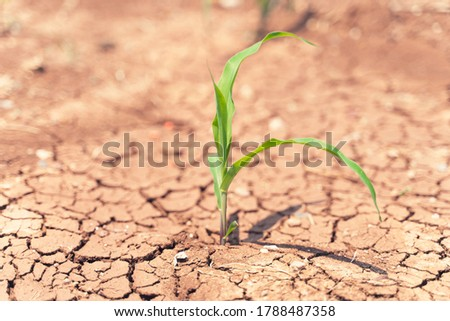 Corn crops suffer as drought continues. Corn field with very dry soil. Dry Corn field in the USA.