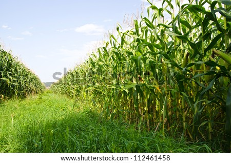 Corn farm - stock photo