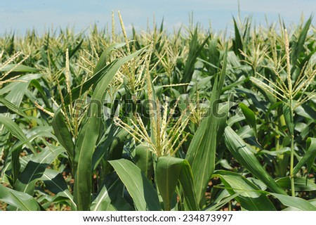 Stock Photo corn field