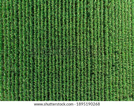 Corn field, aerial over the rows of corn stalks, excellent growth, ripening of the corn field. Agriculture theme. Top view