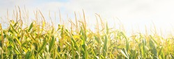 Corn field against clear blue sky, green leaves texture close-up. Abstract natural pattern. Plant, agriculture, farm, food industry, environment, alternative production. Panoramic image