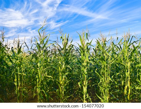 Corn field against cloudy sky