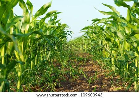 corn field agriculture / corn plant