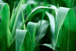 Corn field agriculture. Green nature. Rural  farm land  in summer. Plant growth. Farming scene. Outdoor landscape. Organic leaf. Crop season. Sun in the sky.