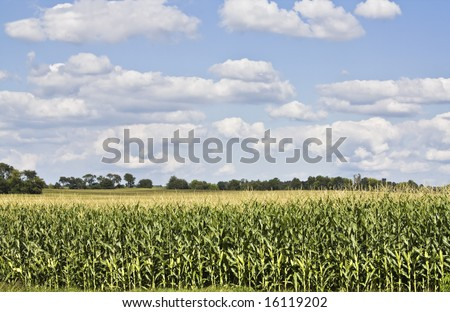 Corn Field - almost ready for harvest