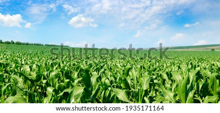 Corn field and blue sky. Wide photo.