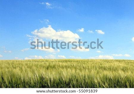 corn field and cloudy blue sky