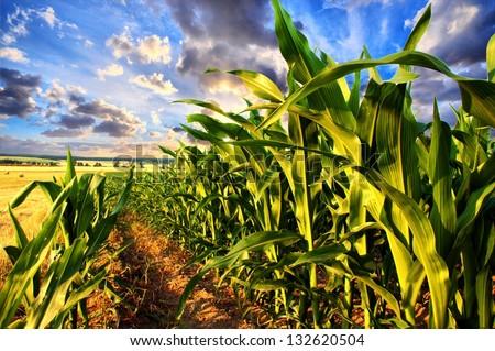 Corn field and sky with beautiful clouds / Corn field