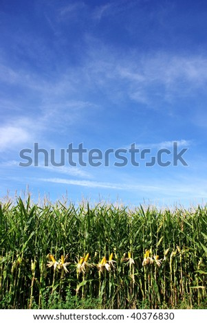Corn field at Portugal.