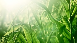 Corn field at sunset, green leaves texture close-up. Abstract natural pattern, background. Plant, agriculture, farm, food industry, environment, alternative production. Panoramic image