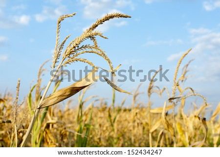Corn field detail in sunny day with blue sky and clouds