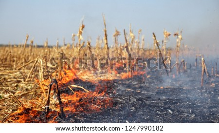 Corn Field Fire - Burning Stalks. Agriculture fields being set afire. Fire burning on the dried cornfield. Close up shot with lots of smoke and heat. #1247990182