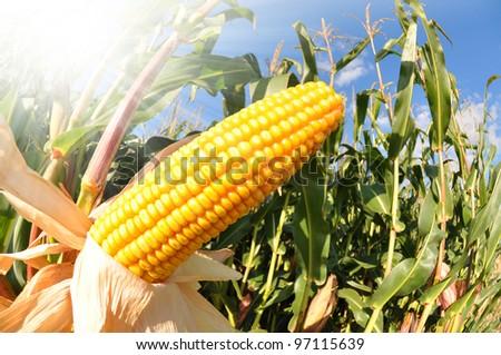 Corn field - fisheye shot
