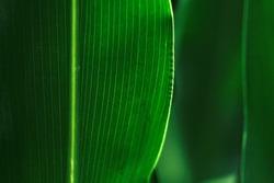 corn field, green leaves