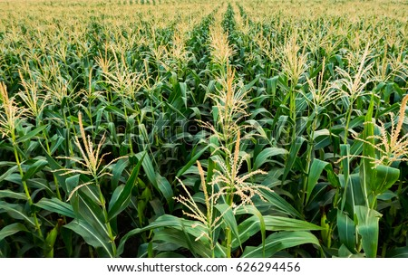corn field have flowers  crane view sun light in the morning #626294456