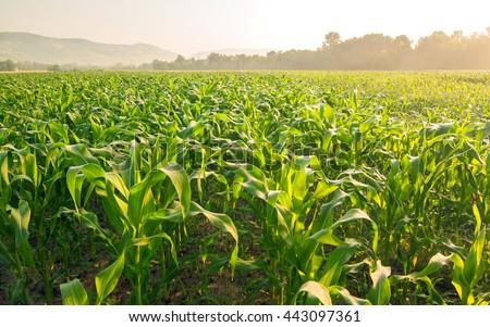 Corn field in early morning light