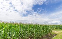 Corn field in Japan. Japanese countryside