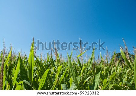Corn field in late summer against a blue sky in horizontal