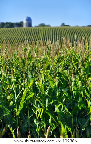 Corn field in the late afternoon sun