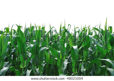 Corn Field Isolated on White