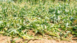 corn field lie down because of wind or storm. corn field problem concept. Agricultural damage  in corn plants