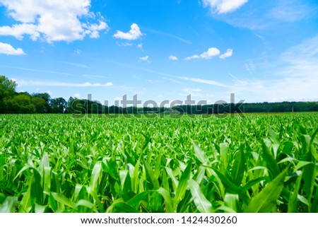 Corn field on a beautiful sunny day #1424430260