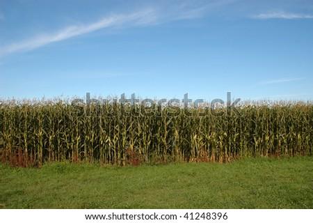 Corn field on bright sunny day