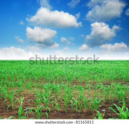corn field rice background cloudy cloud blue sky landscape