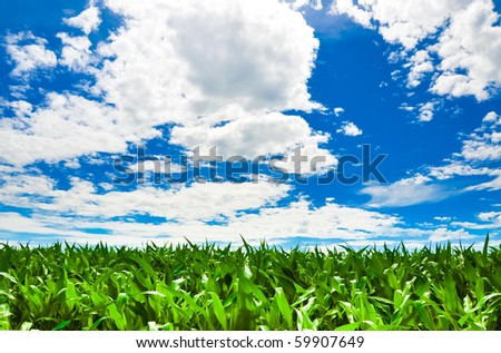 Corn field under a beautiful summer sky