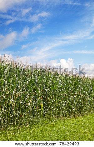 Corn field under blue sky with some clouds