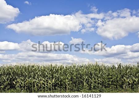 Corn Field under cloudy sky - stock photo