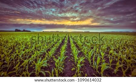 Corn field under setting sun with beautiful clouded sky in vintage colors