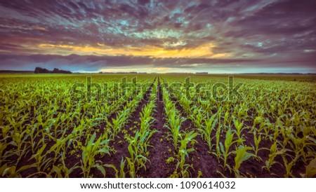corn field under setting sun...
