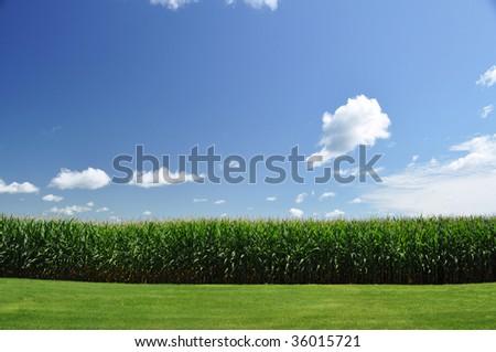 corn field under summer sky
