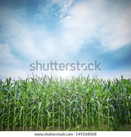 Corn field with cloudscape - Shutterstock ID 149268068