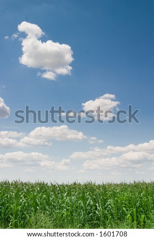 Corn filed on sunny day, blue sky with clouds