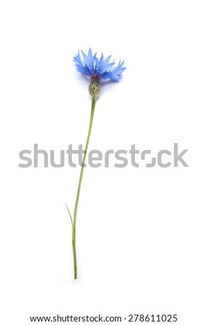 corn flower closeup on white background