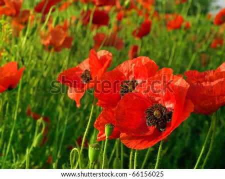 corn flowers and red Poppy