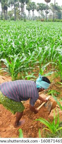 Corn garden  farming photos Natural farming
