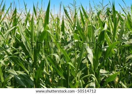 Corn grown in a rural farm ready for harvest